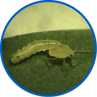 predanostrum larva